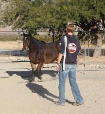 horse training groundwork